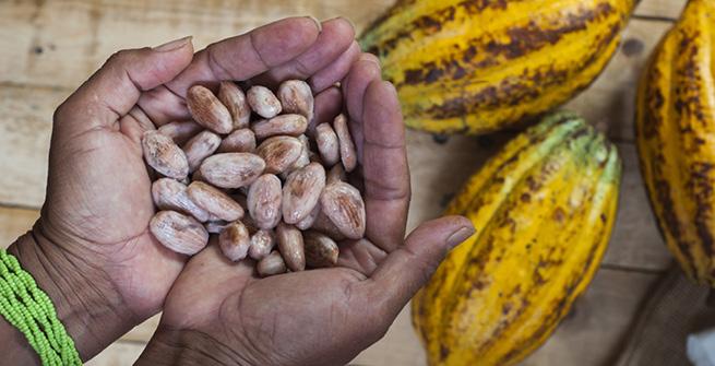 Kakaobohnen in Hand